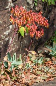 カランコエ属のセイロンベンケイ種