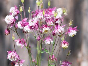 ピンクペチコートはオダマキ属の花で、桃色の花を咲かせる