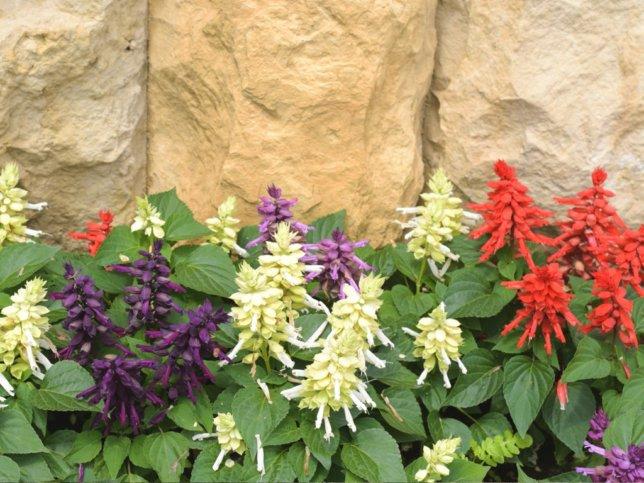 花壇に植えられたサルビアスプレンデンス