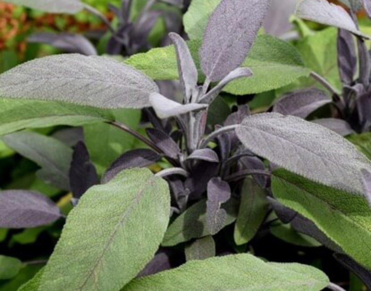 プルプラセンス purpurascens