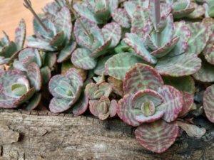 カランコエ属のフミリス種