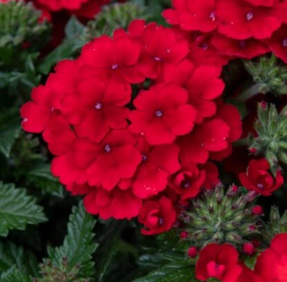 フレアレッド Flair Red plant