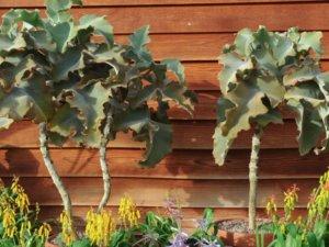 カランコエ属のベハレンシス種