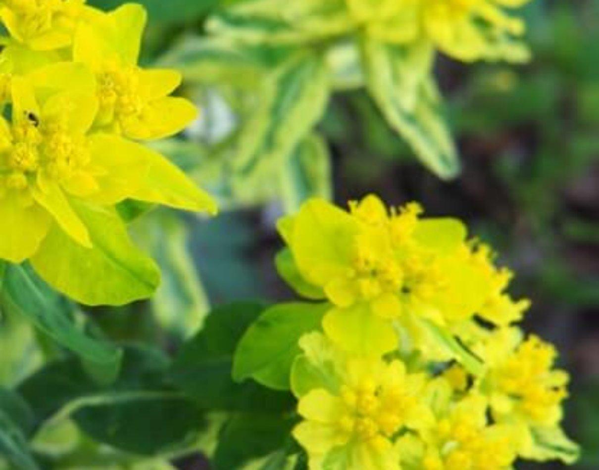 バリエガータ variegata