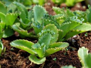 カランコエ属のコダカラベンケイ種