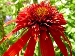 花壇に植えられたエキナセア ホットパパイヤ
