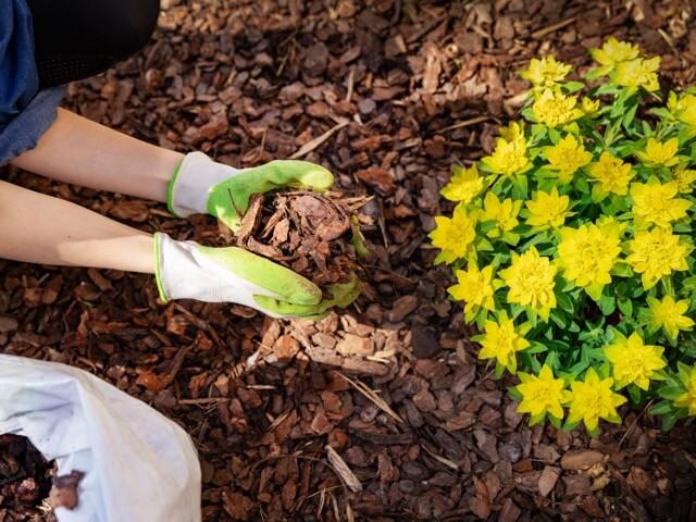 バークチップを植物の株元に敷く女性