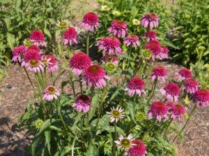 花壇に植えられたエキナセア シュプリーム エレガンス