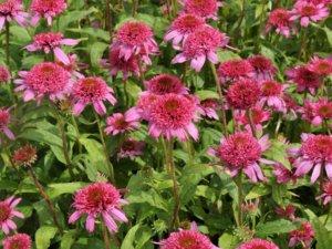 花壇に咲いているエキナセアのピンクダブルデライト