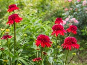 花壇に植えられたエキナセア エキセントリック