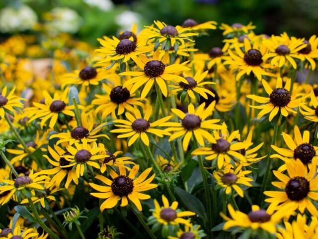 花壇に植えられたルドベキアリトルゴールドスター