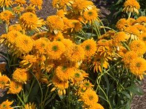 花壇に植えられたエキナセア シークレットグロウ
