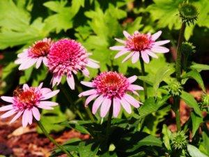 花壇に植えられたエキナセア バタフライキス