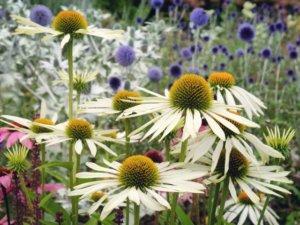 花壇に植えられたエキナセア ホワイトスワン
