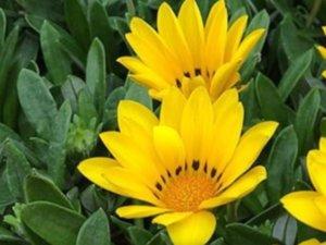 リネアリス種のコロラドゴールド