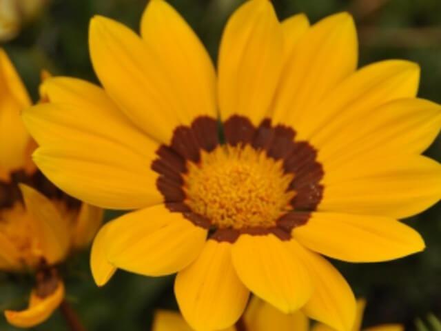 ガザニア属のガズー(黄色のリング付き)