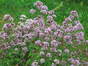 オレガノ属のブルガリ種