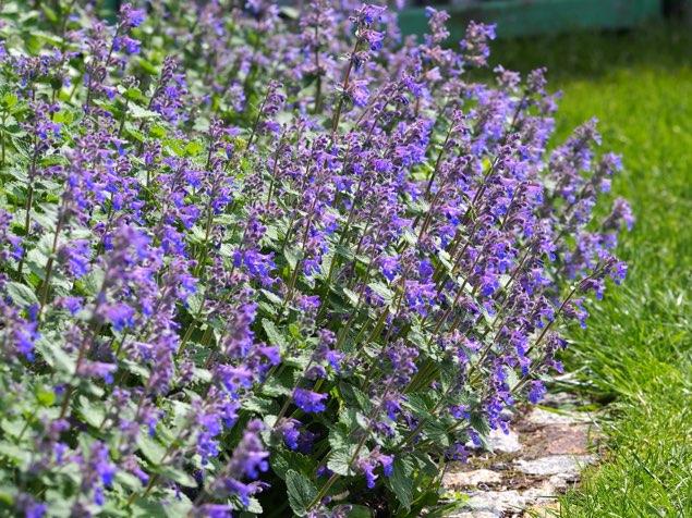 キャットミント(セレクトブルー)は選択された非常に美しい青色の花を咲かせる。