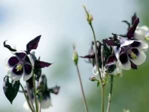 ウィリアムギネスは黒色の花を咲かせるオダマキです。