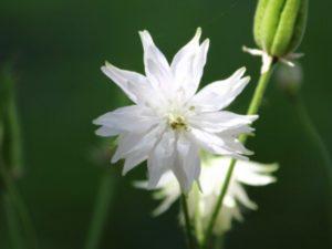 ホワイトバロウは白色の八重咲きする花を咲かせるオダマキです。