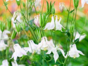 セイヨウオダマキ(アルバ)は純白の花を咲かせます。
