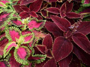 ゴリラは非常に大きな葉と高性の草丈が魅力のコリウスです。