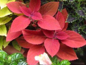 レッドヘッドは赤色の葉が美しいコリウスです。