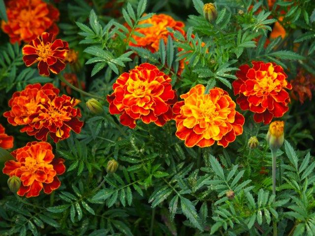マリーゴールド カルメン の育て方や増やし方 Beginners Garden