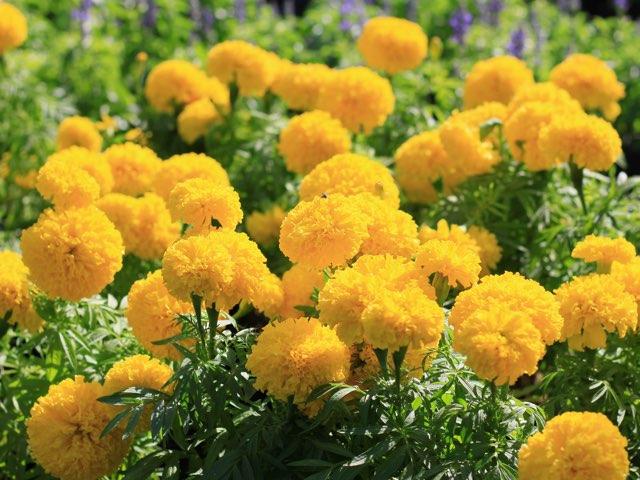 マリーゴールドの珍しい種類 主な種とおすすめの園芸品種の紹介 Beginners Garden