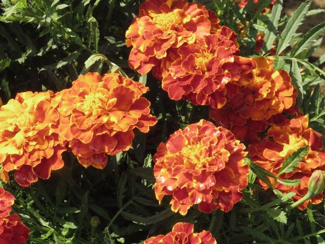 マリーゴールド ストロベリー ブロンド の育て方や増やし方 Beginners Garden