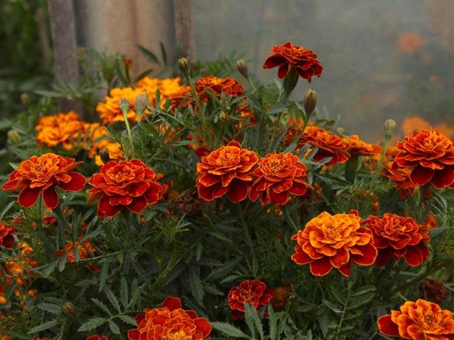 フレンチマリーゴールドの特徴や育て方 フレンチマリーゴールドの種類 Beginners Garden